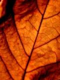 żyły liści, Obraz Stock