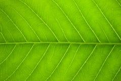 żyły liści, zdjęcie royalty free