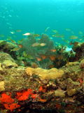 życie koralowy żołnierz piechoty morskiej Fotografia Royalty Free