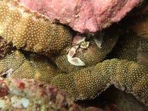 Życie morski krab Zdjęcia Stock