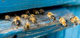 Życie pracownik pszczoły Kolekcja miód Fotografia Royalty Free