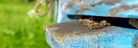 Życie pracownik pszczoły Pszczoły przynoszą miód Obraz Stock