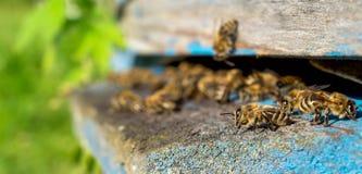 Życie pracownik pszczoły Pszczoły przynoszą miód Fotografia Royalty Free