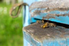 Życie pracownik pszczoły Pszczoły przynoszą miód Fotografia Stock