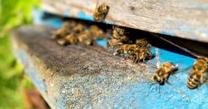Życie pracownik pszczoły Pszczoły przynoszą miód Obraz Royalty Free