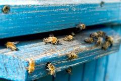 Życie pszczoły Pracownik pszczoły Pszczoły przynoszą miód Obraz Royalty Free