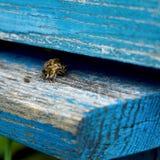Życie pszczoły Pracownik pszczoły Pszczoły przynoszą miód Zdjęcie Stock