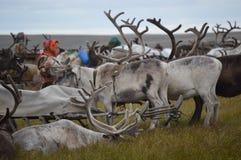 Życie reniferowi poganiacze bydła na Yamal półwysepie zdjęcia royalty free