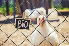 Życiorys kurczaki na domu gospodarstwie rolnym fotografia royalty free