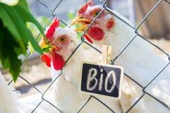 Życiorys kurczaki na domu gospodarstwie rolnym zdjęcie royalty free