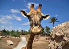 Życzliwa ładna przyglądająca żyrafa zdjęcia royalty free