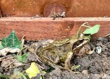 Życzliwy żaba portret Obrazy Stock