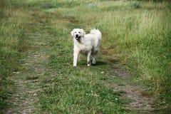 Życzliwy bielu psa bieg obrazy stock