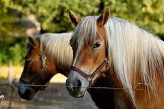 Życzliwy jasnobrązowy koń zaczyna pokazywać interes w sesja zdjęciowa. fotografia stock
