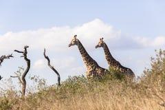 Żyraf Dwa pustkowie Zdjęcia Royalty Free