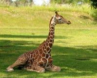 żyraf potomstwa Obraz Royalty Free