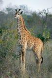 żyraf potomstwa Obrazy Royalty Free