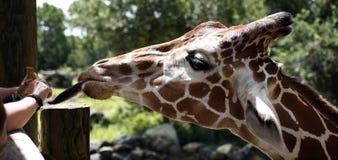 żyrafa żywieniowy zoo Zdjęcia Stock