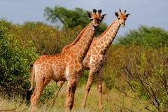 żyrafa zdjęcia stock