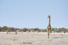 Żyrafa chodzi blisko lwów łgarskiego puszka na ziemi Przyroda safari w Etosha parku narodowym, główna atrakcja turystyczna w Nami Zdjęcia Royalty Free