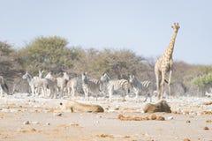 Żyrafa chodzi blisko lwów łgarskiego puszka na ziemi Przyroda safari w Etosha parku narodowym, główna atrakcja turystyczna w Nami Zdjęcie Stock