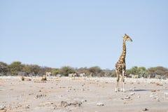 Żyrafa chodzi blisko lwów łgarskiego puszka na ziemi Przyroda safari w Etosha parku narodowym, główna atrakcja turystyczna w Nami Obraz Stock
