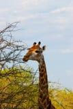 żyrafa dzika Obraz Stock