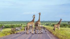 Żyrafa i równiny zebra w Kruger parku narodowym, Południowa Afryka fotografia royalty free
