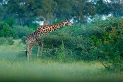 Żyrafa i ranku wschód słońca Zielona roślinność z żywieniowym zwierzęciem Przyrody scena od natury Żyrafa w lesie, Okavango, larw zdjęcia stock