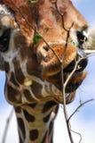 Żyrafa jęzoru skręcarka fotografia stock