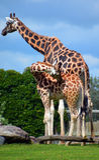 Żyrafa jest afrykanin stającym ungulate ssakiem Fotografia Stock