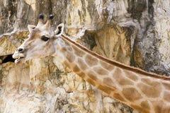 Żyrafa, kamienny tło Fotografia Royalty Free