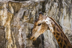 Żyrafa, kamienny tło Obraz Royalty Free