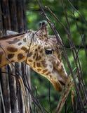 żyrafa kierowniczy s zdjęcie stock