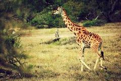 Żyrafa na Afrykańskiej sawannie fotografia royalty free