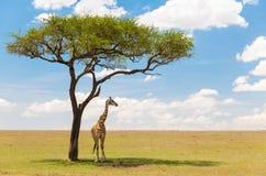 Żyrafa pod drzewem w afrykańskiej sawannie Obrazy Royalty Free
