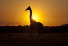 Żyrafa przy wschodem słońca obrazy stock