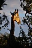 Żyrafa przy zmierzchem w Southafrican obraz stock