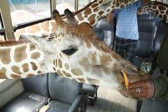 żyrafa safari obrazy royalty free