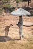 Żyrafa safari zwierzę Afryka Obrazy Stock