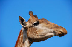 żyrafa się blisko Obrazy Royalty Free