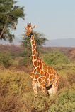 żyrafa siatkował fotografia royalty free