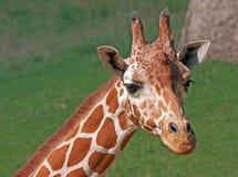 żyrafa siatkował Zdjęcie Royalty Free