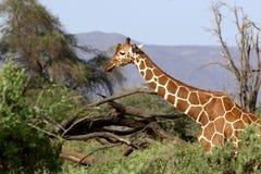 żyrafa siatkująca Zdjęcia Royalty Free