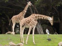 żyrafa siatkująca obrazy stock
