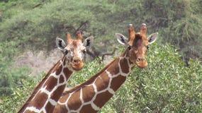 żyrafa siatkująca obraz stock