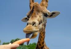 Żyrafa w Fasano apulia safari zoo Włochy zdjęcia royalty free