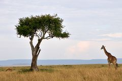 Żyrafa w Masai Mara Obraz Stock
