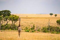 żyrafa w sawanny równinie Maasai Mara park w Żadny zdjęcie stock