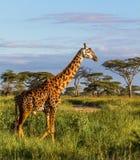 Żyrafa w Serengeti NP w Tanzania obraz stock